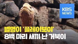 [클릭@지구촌] 멸종위기 종족 되살린 '번식왕 거북이'…