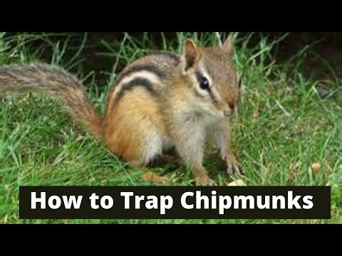 How to trap chipmunks youtube how to trap chipmunks ccuart Image collections