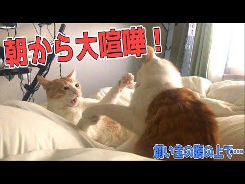 朝から飼い主の腹の上で喧嘩しだす猫たちにたたき起こされました…