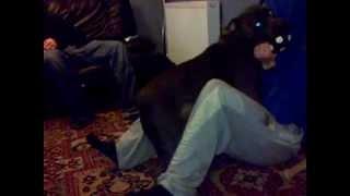 Staffordshire Bull Terrier Attack