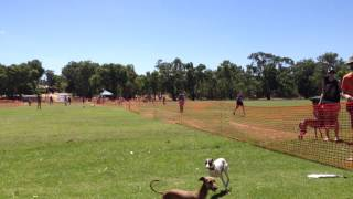 Lure Coursing - Italian Greyhound Club of Western Australia and Friends