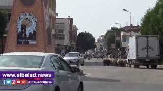 الأغنام والماعز تعيق المرور بشوارع  طور سيناء.. صور وفيديو