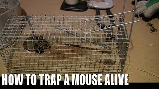How To Trap A Mouse Alive