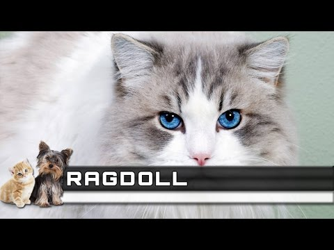 🐈 RAGDOLL Cat Breed - Overview, Facts, Traits and Price