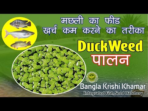 How To Reduce Fish Feed Cost । Duck Weed Farming For Fish Feed । Extra Protein Source For Fish.