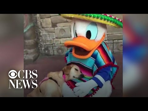 CK - VIDEO: Service dog falls in love with Donald Duck at Disney World