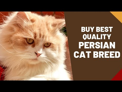 Persian Cat - the most popular breed of pedigree cats