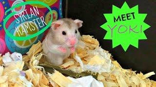 MEET YOKI - Syrian Hamster - Thumbnail