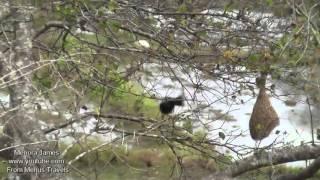 Crested Hawk Eagle, White necked Stork, Black headed Ibis,Great Egrets & Herons