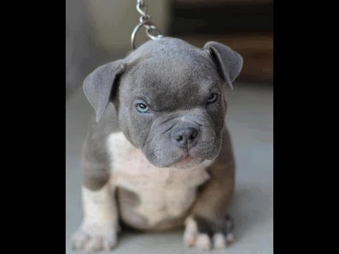 BLUE NOSE PIT BULL PUPPIES FOR DEPOSIT/SALE