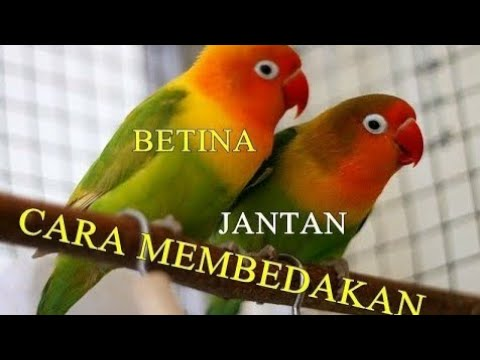 Akurat Cara Membedakan K3l4min Burung Love Bird Youtube