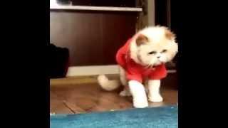 Fluffy cat does Moon Walk of Michael Jackson