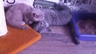 британские котята / british cats