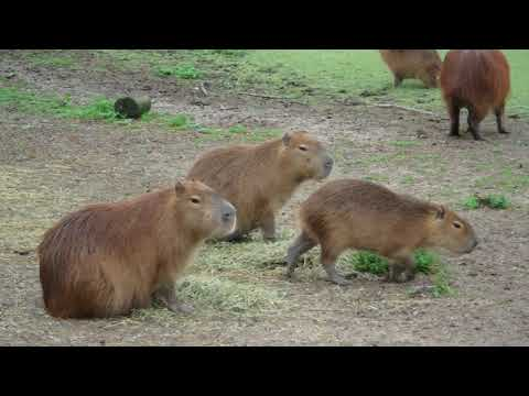 Capybara Up Close In Uruguay