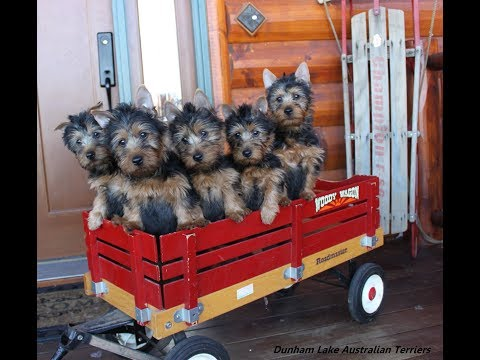 Dunham Lake Australian Terrier Puppies