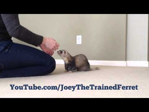 Training session: Ferret learning to clap