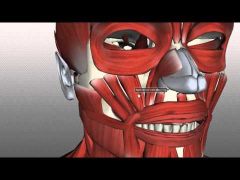 Muscles of Facial Expression - Anatomy Tutorial PART 2