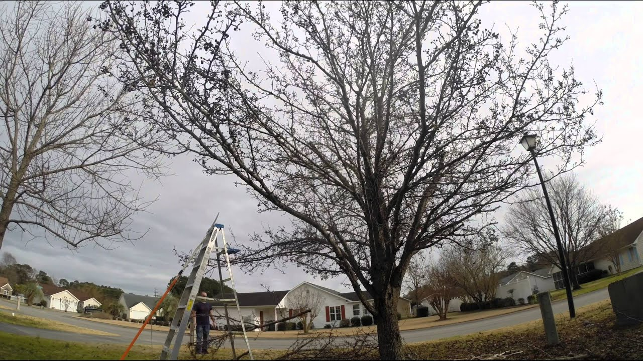 Bradford Pear Tree Pruning