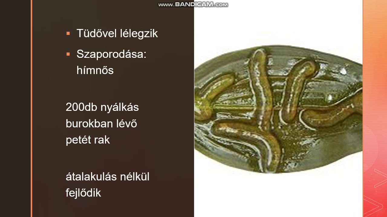condyloma puhatestűek)