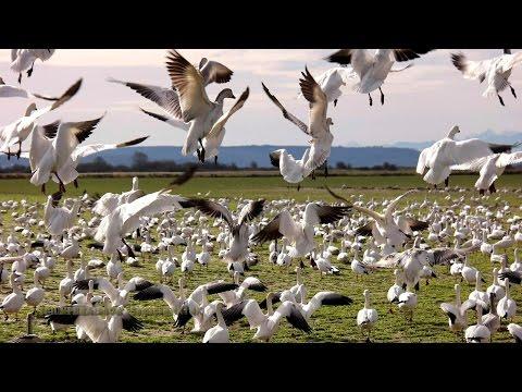 Snow Geese at Skagit Valley 1080p