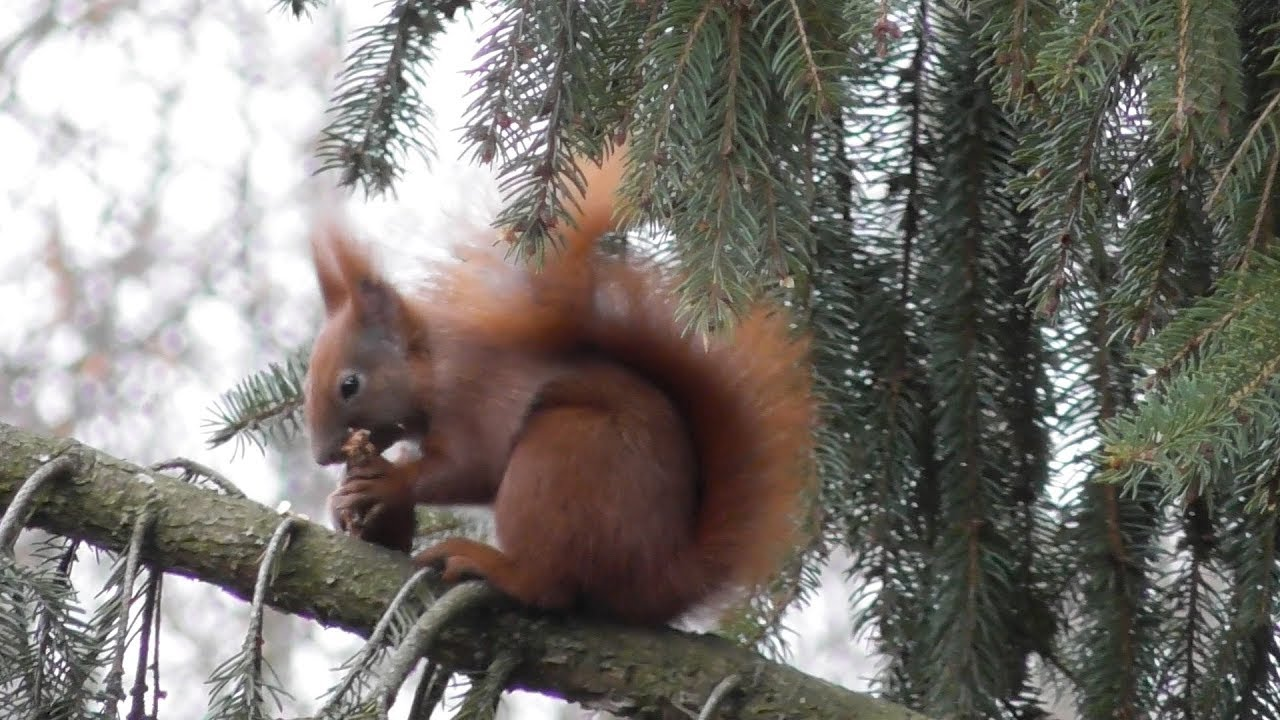 Eichhörnchen Doku