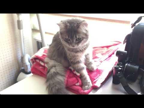 siberian cat Mong kneading :-)