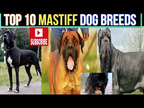 TOP 10 Mastiff Dogs Breeds in the World | mastiff dog breeds | pets & animals p0int: