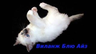 Виланж Блю Айз - котенок Священная бирма
