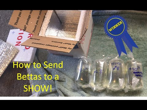 How To Send Bettas To A Show - Step By Step