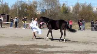 29 09 2013 Работа с лошадью на кордео - Юбилей Аллюра (Благовещенск)