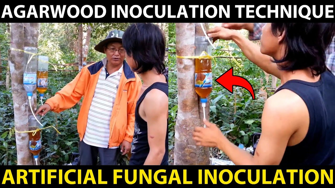 AGARWOOD INOCULATION TECHNIQUE | Agarwood Artificial Fungal Inoculation Method | Fungal Treatment