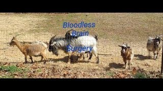Complete Bloodless Castration of Goat