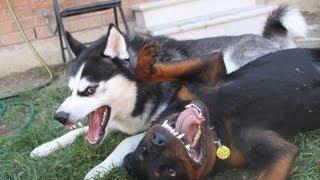 Siberian Husky Vs Rottweiler 2
