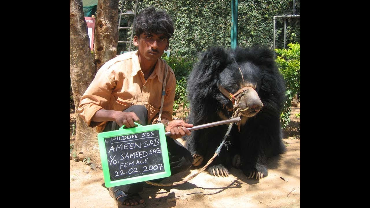 BBC Our World Saving Indias Dancing Bears YouTube - 32 bears decided try human