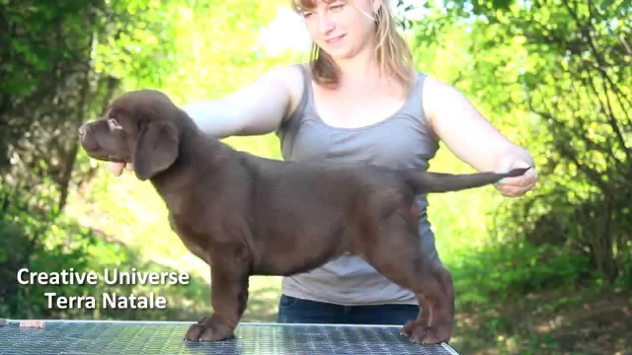 Продажа собак в украине ➤ доска объявлений besplatka. Ua поможет купить собаку, продажа. Предлагает к продаже алиментного щенка лабрадор ретривера шоколадного окраса. Продам недорого элитные щенки, 4мес.