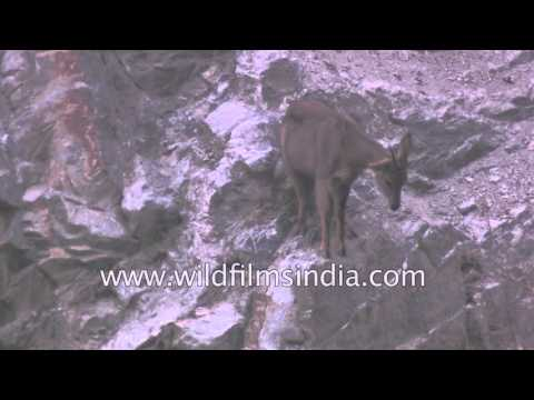 Climbing steep rocky slopes in search of food: goral in Corbett