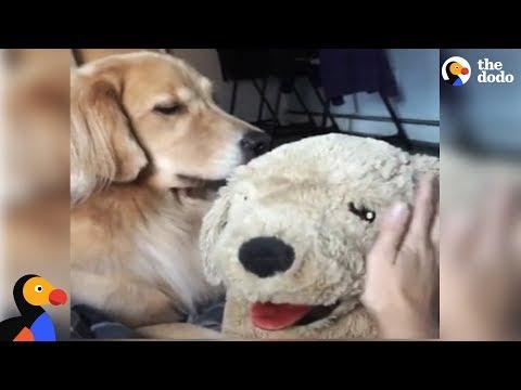 Golden Retriever Dog Gets Jealous Of Stuffed Dog | The Dodo