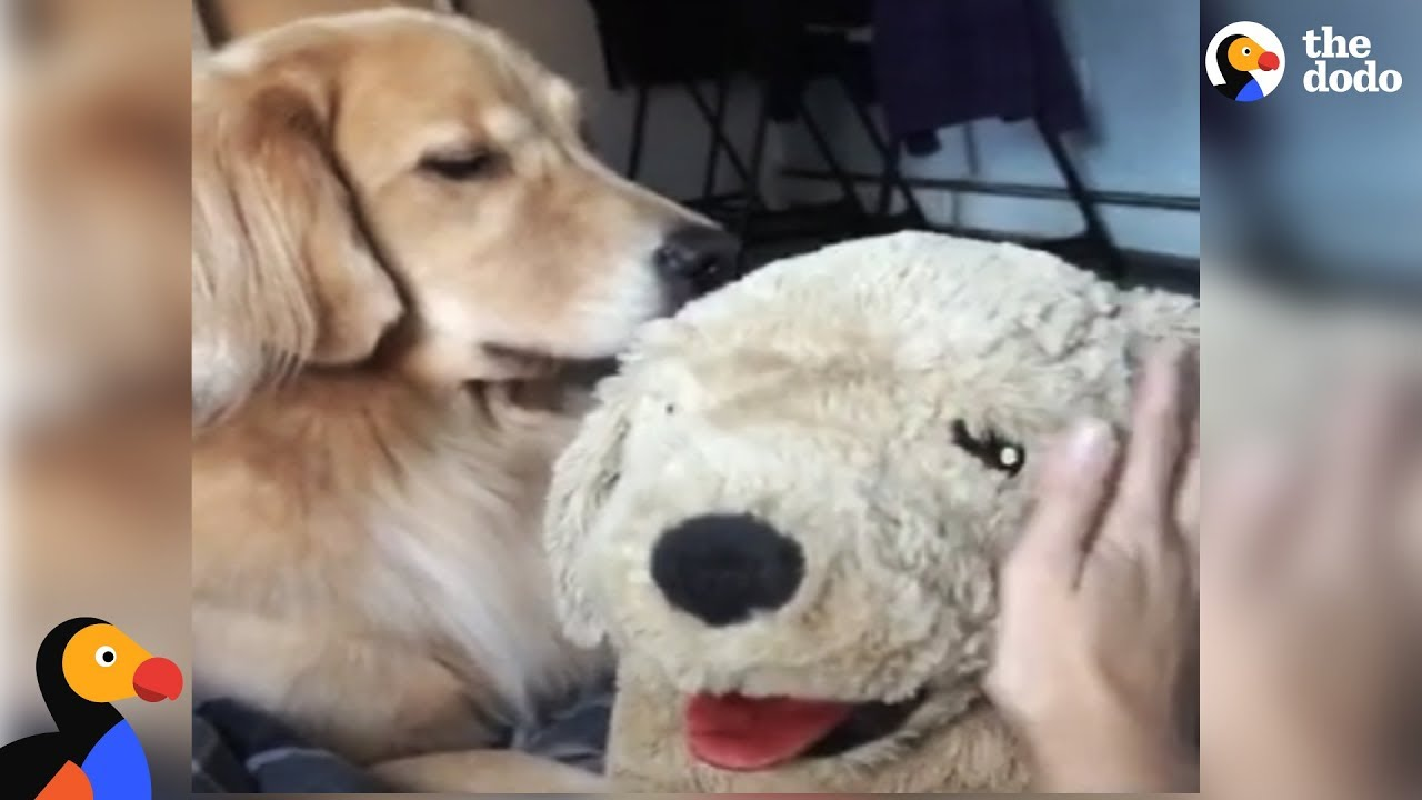 Golden Retriever Dog Gets Jealous Of Stuffed Dog | The Dodo