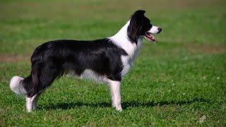 Порода собак Бордер-колли - Описание, уход, питание