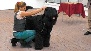 Русские Черные Терьеры на выставке собак. Russian black terriers at the dog show.