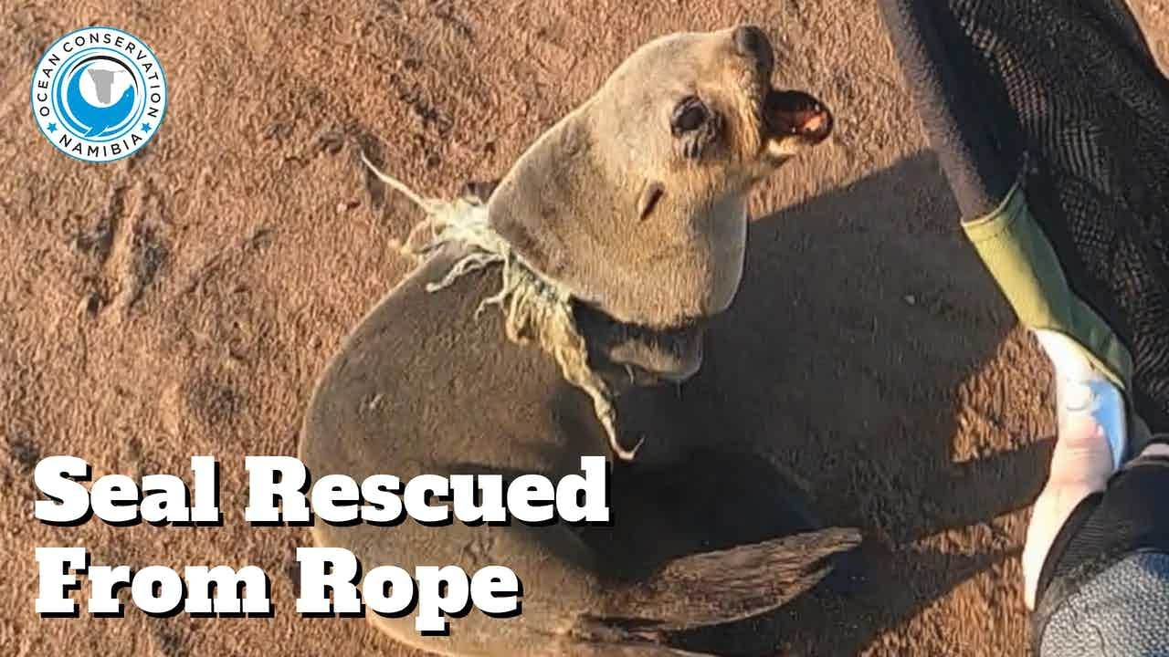 Seal Rescued from Rope Around Its Neck