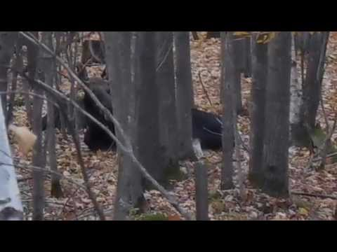 Moose chillin on county line of Eau Claire and Chippewa, Wi! 10-17-14