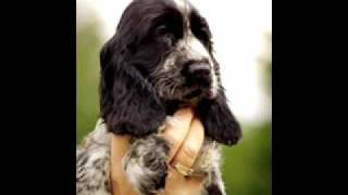 Cocker Welpen/puppies/szczenieta K-wurf/litter