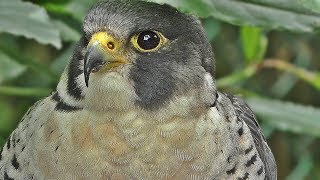 Peregrine Falcon with A Broken Wing : Close Up