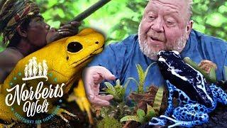 TÖDLICHER PFEILGIFTFROSCH | WIE WIRD DAS PFEILGIFT GEWONNEN | NORBERTS WELT | Zoo Zajac