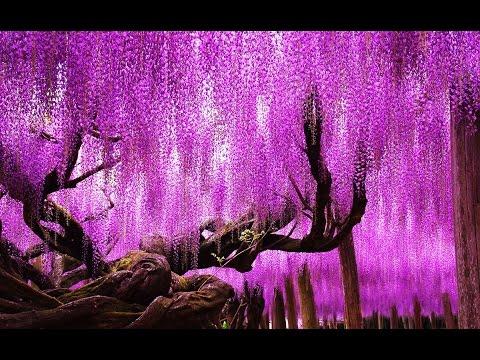 Самые Красивые Цветущие Деревья и Кустарники в Мире Глициния Делоникс