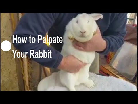 Rabbits from Start to Finish: How to Palpate Your Pregnant Rabbit