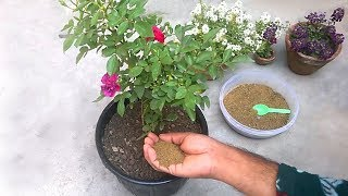 How to use mustard cake organic fertilizer for any plants | Homemade organic fertilizer