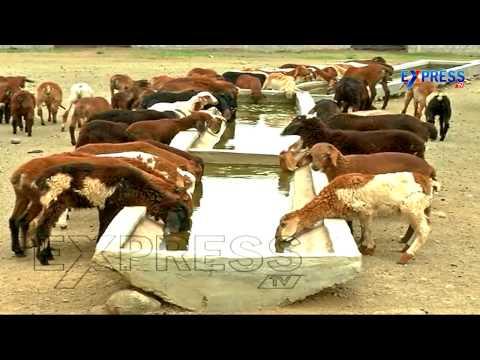 Commercial Sheep Farming By Jangi Reddy, Ranga Reddy District | Express TV