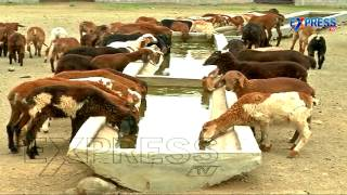 Commercial Sheep Farming By Jangi Reddy, Ranga Reddy District | Express TV